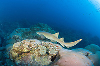 Nurse shark, Ginglymostoma cirratum, at West Flower Garden Bank off Texas in the Gulf of Mexico
