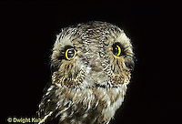 OW12-005z   Saw-whet owl - turning head, time exposure to show extent of rotation of head - Aegolius acadicus