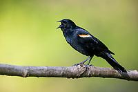 Red-winged Blackbird (Agelaius phoeniceus phoeniceus), Red-winged subspecies group, male singing in Tarrytown, New York.