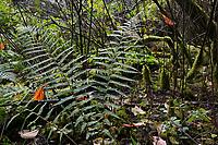 GERMANY, Ruegen, forest with moss and farning / DEUTSCHLAND, Mecklenburg-Vorpommern, intakter Wald, Laubwald mit Farn und Moos