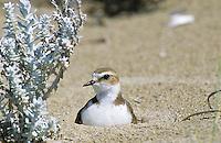 Seeregenpfeifer, See-Regenpfeifer, Weibchen brütend auf Nest am Strand, Regenpfeifer, Charadrius alexandrinus, Kentish plover