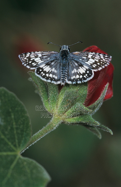 White Checkered Skipper, Pyrgus albescens , adult on Tulipan del Monte (Hibiscus cardiophyllus) , Starr County, Rio Grande Valley, Texas, USA, May 2002