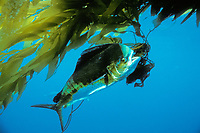 game fish, mahi mahi, dorado or dolphin fish, Coryphaena hippurus, in kelp in open ocean off San Diego, California, USA, East Pacific