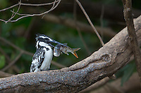 Pied Kingfisher with Breakfast on the side of the Gambia River near Wassadou, Senegal