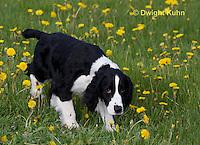 SH25-791z English Springer Spaniel Dog smelling