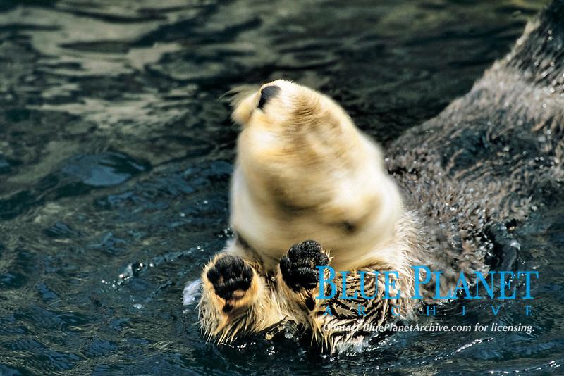 sea otter, Enhydra lutris kenyoni, Vancouver aquarium, Vancouver Island, British Columbia, Canada