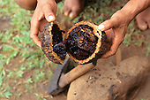 Amapa State, Amazon, Brazil. Brazil nut pod open using a hatchet.