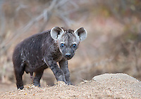 We were fortunate to see a spotted hyena den right near the road in Kruger National Park.