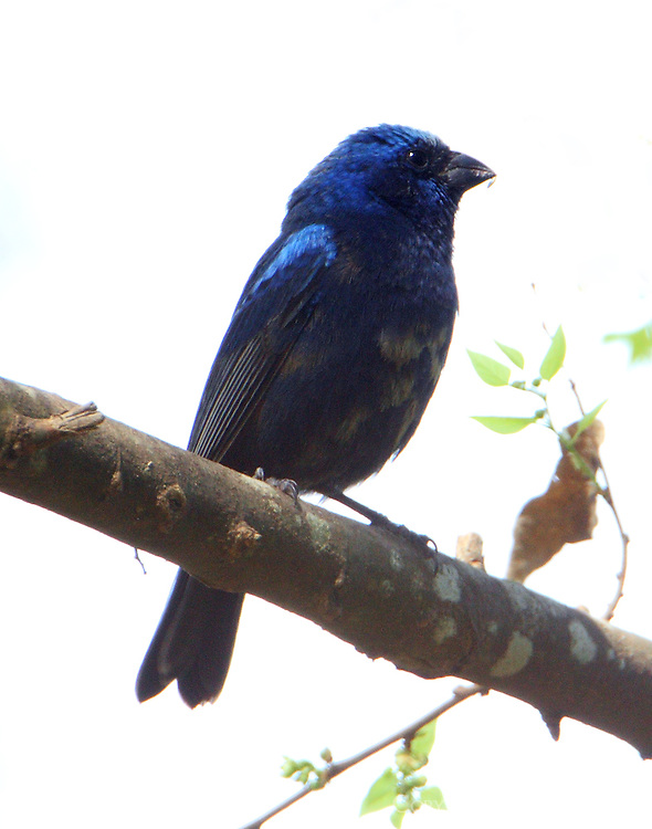 Male blue bunting. Note fragment of weed seed on bird's bill.