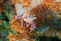 A soft coral crab (Hoplophyrs oatesii) blending in with its home, Bali, Indonesia, Indian Ocean