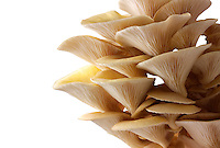 Fresh picked edible yellow or golden oyster mushrooms (Pleurotus citrinopileatus) against a white background for cut out
