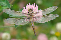 Immature Twelve-spotted Skimmer (Libellula pulchella) dragonfly male resting on red clover.  It is still in the teneral stage (newly emerged) and hasn't fully developed color in its wings.