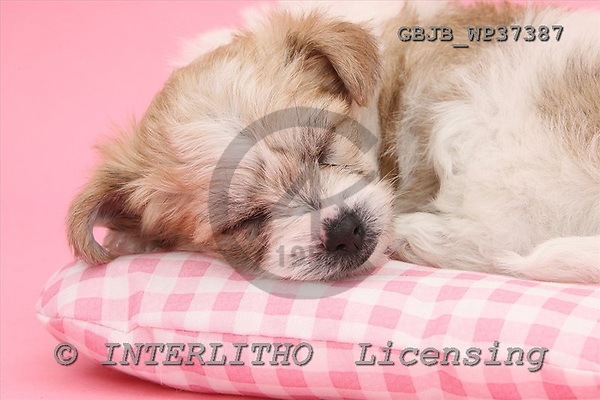 Kim, ANIMALS, dogs, photos+++++,GBJBWP37387,#a# Hunde, perros