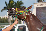 Parranda getting cooled down after winning the Sunshine Millions Filly and Mare Turf. Scenes from Florida Sunshine Millions day at Gulfstream Park, Hallandale Beach Florida. 01-18-2014