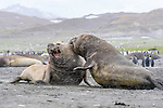 Male Southern elephant seal (Mirounga leonina) fighting. St Andrews Bay, South Georgia, South Atlantic.