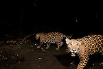 Jaguar (Panthera onca) yearling male cubs on beach at night, Coastal Jaguar Conservation Project, Tortuguero National Park, Costa Rica