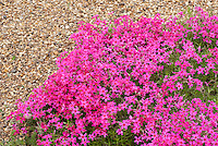 Phlox subulata 'Tamaongalei' aka Kimono creeping groundcover phlox in late April spring bloom pink flowers