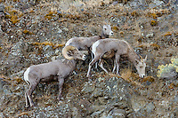 Bighorn Sheep (Ovis canadensis) ram with two ewes near the John Day and Columbia Rivers in North Central Oregon.  October.  Note: These sheep were formerly known as California Bighorn, but are now classified with Rocky Mountain Bighorn.