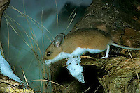 MU12-077z  Deer Mouse - Peromyscus maniculatus