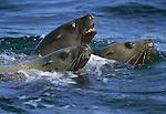 Northern sea lions, North Marble Island, Glacier Bay National Park and Preserve, Alaska