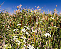 White hemlock flowers float and sway on long stalks against a background of cattails and grass under a summer-blue sky at Coyote HIlls Regional Park, Fremont, California.