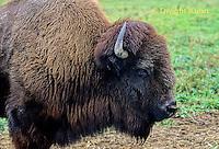 MA31-037z  American Bison - buffalo - Bison bison