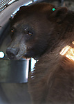"""Nevada Department of Wildlife black bear biologist Carl Lackey prepares to release a bear west of Carson City, Nev., on Sunday, May 25, 2014. The 8-year-old female black bear was """"intercepted early in the cycle of conflict behavior"""" and subjected to aversion training. <br /> Photo by Cathleen Allison"""