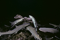 Whitetip Reef Sharks (Triaenodon obesus) hunting in coral at night, Cocos Island, Costa Rica - Pacific Ocean