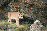 A puma walks along the cliff side in Patagonia, Chile.
