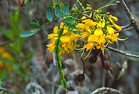 Mamane tree,  flowers and seed pods. Sophora chysophylla.  Found in dryland forests in Hawaii. Sole food source for endangered Palila
