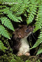 MA28-008z  Short-Tailed Weasel - ermine in forest in brown summer coat - Mustela erminea