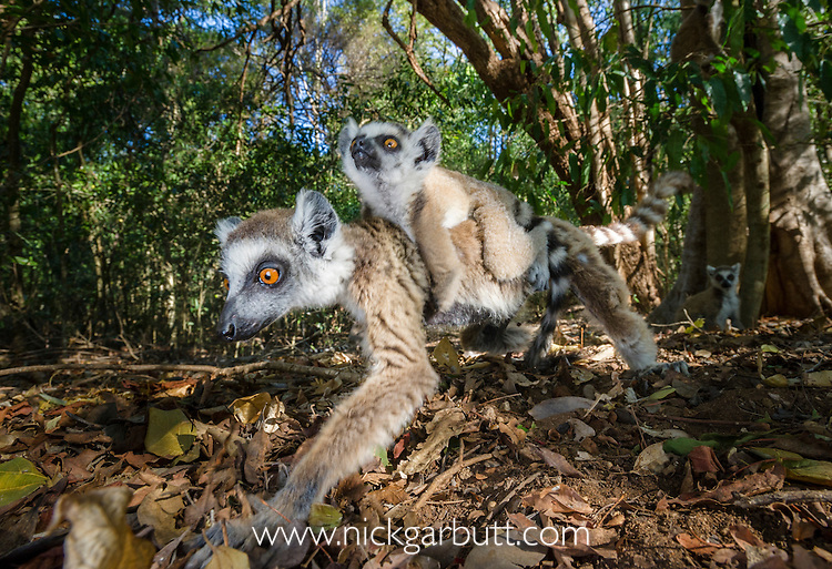 Female Ring-tailed Lemur (Lemur catta) foraging in leaf litter and carrying an infant (6-8 weeks). Berenty Private Reserve, southern Madagascar.
