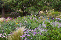 Perennials flowering in New Mexico meadow garden lawn substitute, using Monarda, Lychnis, Stachys with Mexican feather grass.
