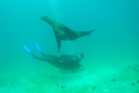 Scuba diver swimming with Sea lion (Zalophus californianus), Underwater view, Ecuador, Galapagos Archipelago, San Cristobal Island