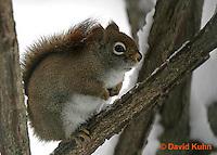 "1228-07rr  Red Squirrel ""Hunting for Food in Winter"" - Tamiasciurus hudsonicus - © David Kuhn/Dwight Kuhn Photography."