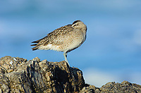 Whimbrel (Numenius phaeopus) roosting on coastal rocks with its bill tucked in. Monterey County, California. December.