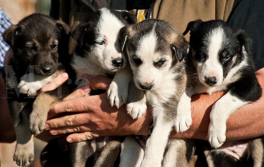 Alaskan Huskey puppies, Jerff King's Huskey Homestead Kennel, Denali, Alaska