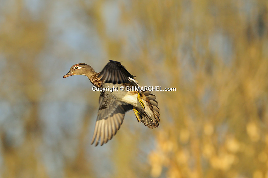 00360-111.20 Wood Duck: A  hen in flgiht has wings set as it is about to land.   Wetlands, fly, hunt, waterfowl, color.