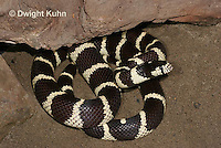1R22-522z  California Kingsnake, Lampropeltis getulus californiae