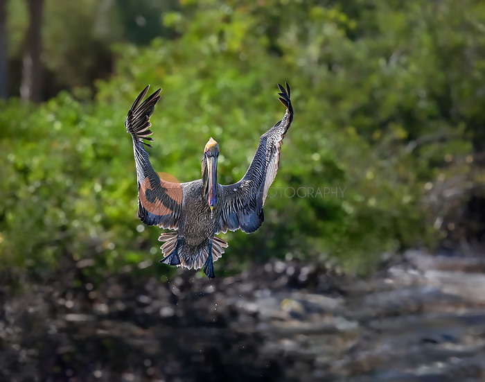 Brown Pelican in breeding colors,landing with wings in orchestra position