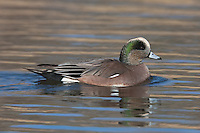 American Wigeon (Anas americana) - Male swimming on a lake with colored reflections