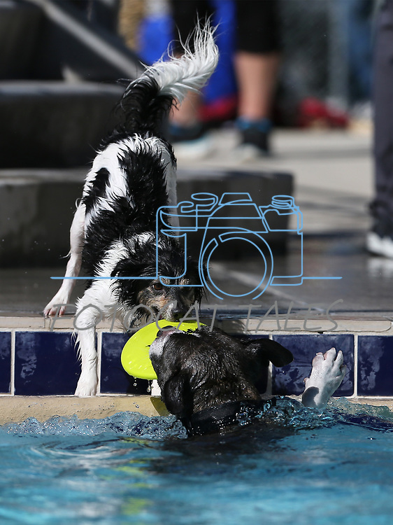 Denver and Mac play at the 9th annual Pooch Plunge at the Carson City Aquatics Center in Carson City, Nev., on Saturday, Sept. 23, 2017. The event is a fundraiser for Carson Animal Services Initiative which supports the Nevada Humane Society in Carson City. <br /> Photo by Cathleen Allison/Nevada Photo Source