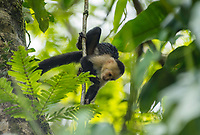 White-faced Capuchin, Cebus capucinus, in a tree beside the Tortuguero River (Rio Tortuguero) in Tortuguero National Park, Costa Rica