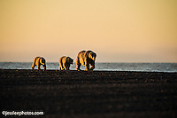 Polar bears walking the shore of the Beaufort Sea in Alaska Alaska Polar Bear Photography Prints