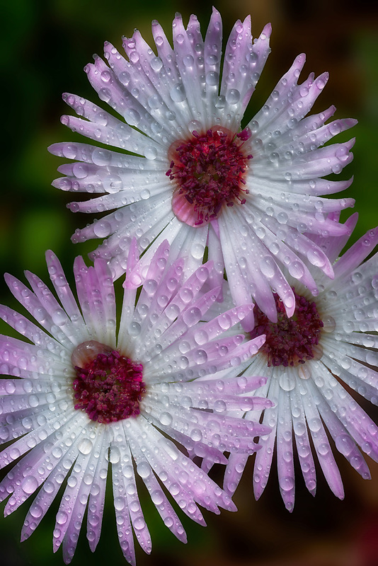 Close up of Livingstone Daisy with rain drops