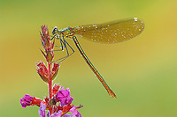 Banded Demoiselle (Calopteryx splendens), female perched on flower dew covered, Zug, Switzerland