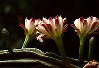 Kaktusblüte am Pizzolungo-Wanderweg, Capri, Italien