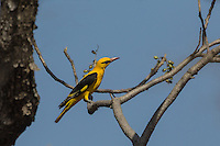 Indian Golden Oriole in Ranthambhore Tiger Reserve, Rajasthan, India
