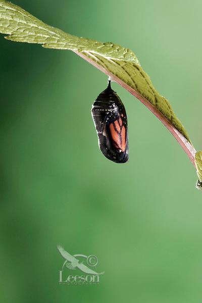 MONARCH BUTTERFLY life cycle..Chrysalis on Joe-Pye leaf. .North America. Danaus plexippus.
