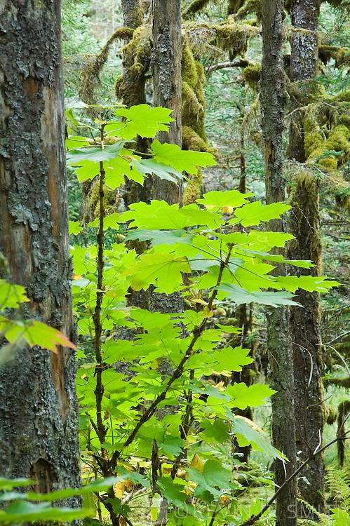 Spruce trees and Devils Club, coastal forest, Kodiak Island, Alaska USA.